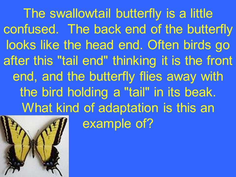 The swallowtail butterfly is a little confused