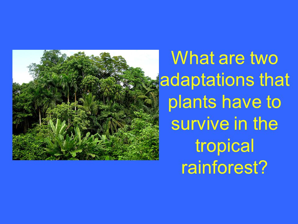 What are two adaptations that plants have to survive in the tropical rainforest