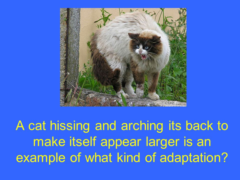 A cat hissing and arching its back to make itself appear larger is an example of what kind of adaptation