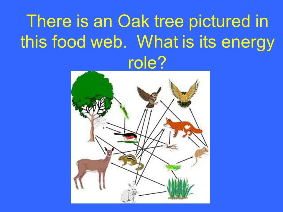 There is an Oak tree pictured in this food web. What is its energy role