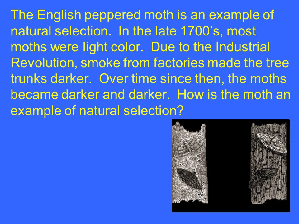 The English peppered moth is an example of natural selection
