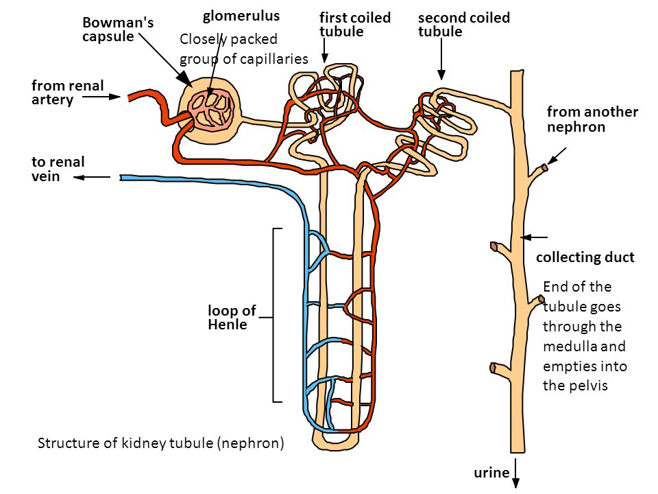 glomerulus first coiled. tubule. second coiled. tubule. Bowman s. capsule. Closely packed group of capillaries.