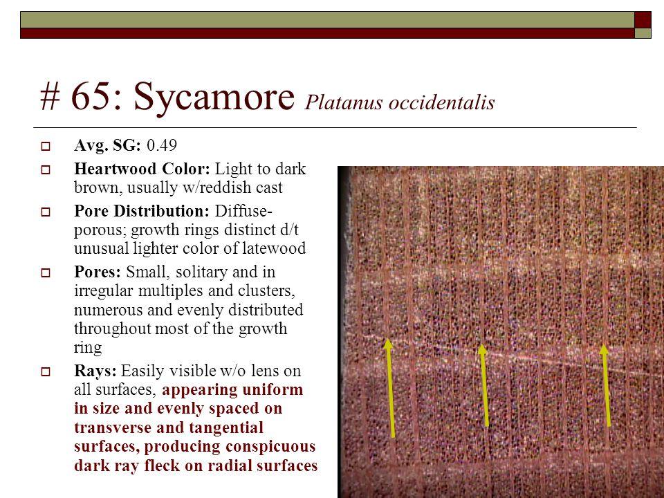 # 65: Sycamore Platanus occidentalis