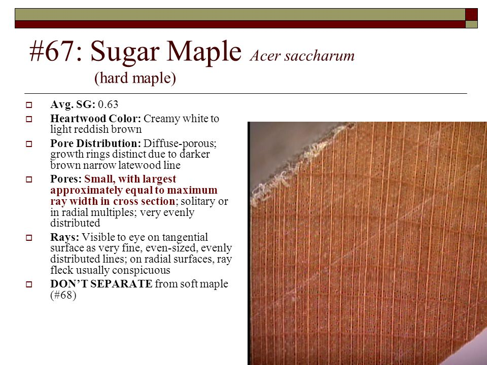 #67: Sugar Maple Acer saccharum (hard maple)
