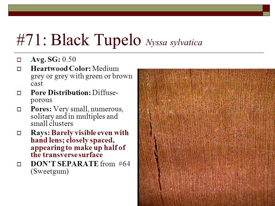 #71: Black Tupelo Nyssa sylvatica