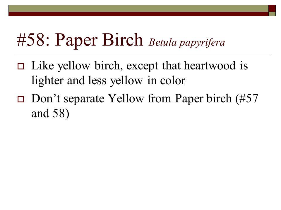 #58: Paper Birch Betula papyrifera