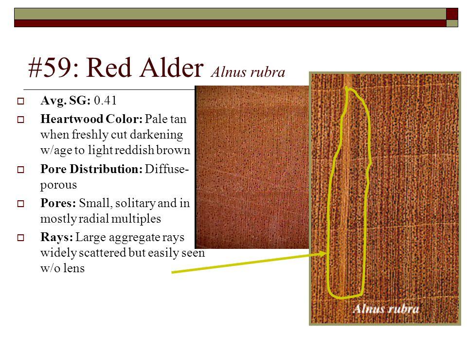 #59: Red Alder Alnus rubra