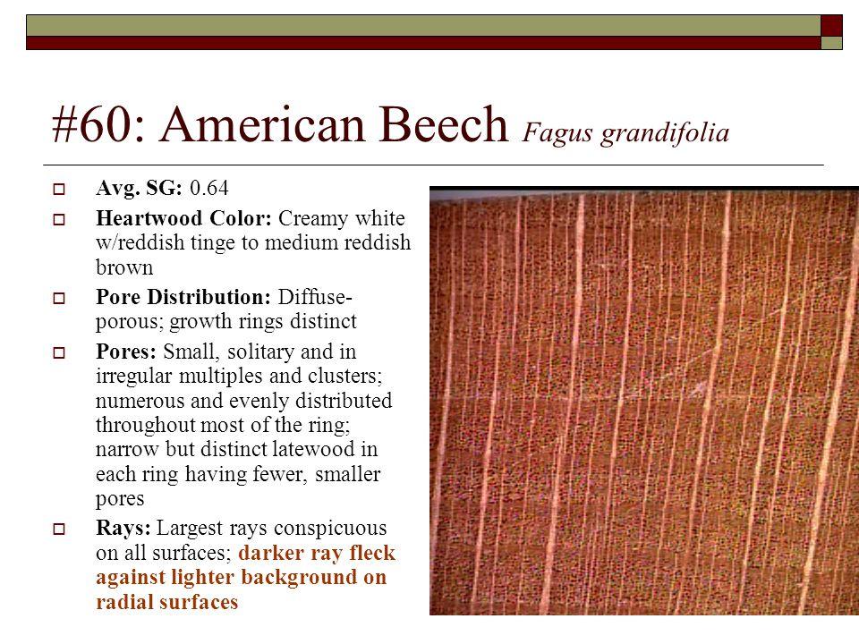 #60: American Beech Fagus grandifolia