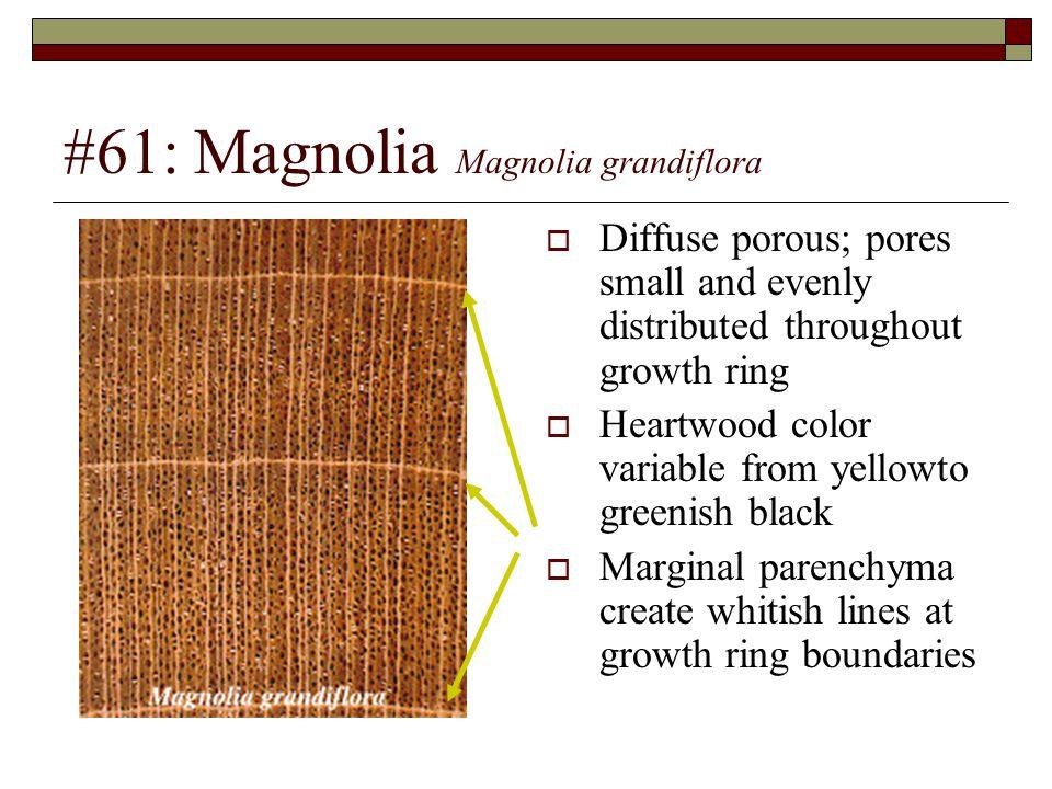 #61: Magnolia Magnolia grandiflora