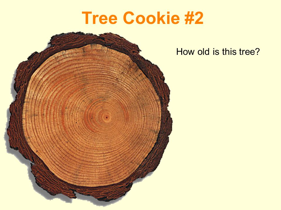 Tree Cookie #2 How old is this tree
