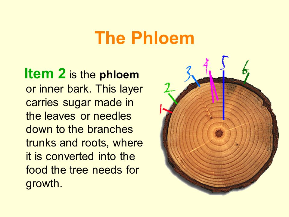 The Phloem