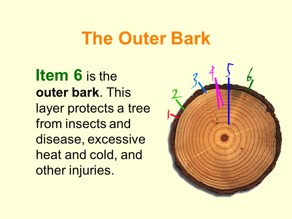 The Outer Bark Item 6 is the outer bark.