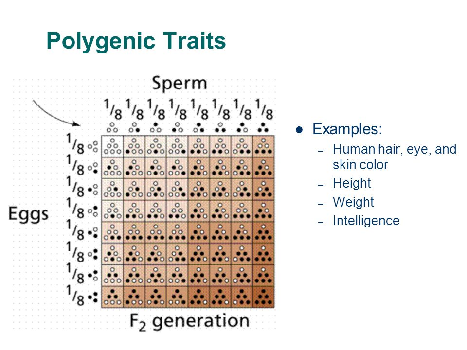 Polygenic Traits Examples: Human hair, eye, and skin color Height