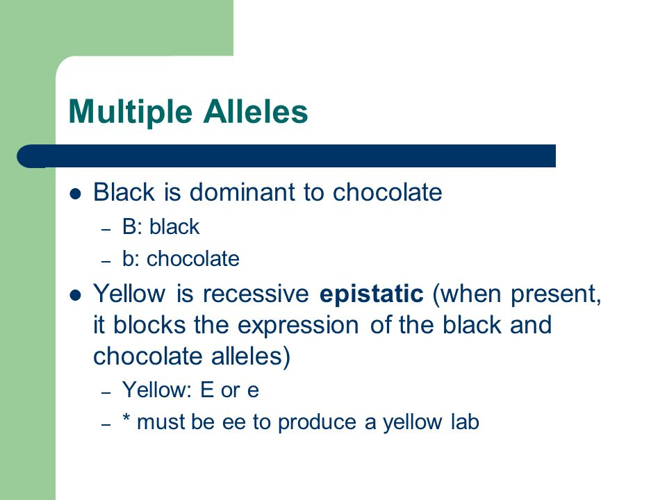 Multiple Alleles Black is dominant to chocolate