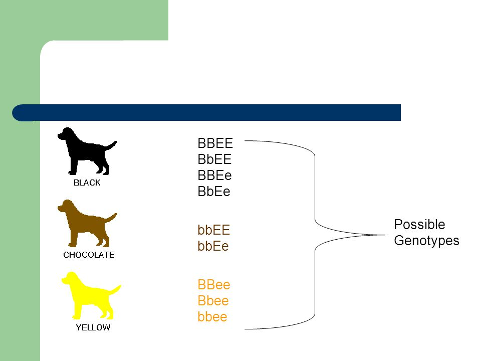 BBEE BbEE BBEe BbEe bbEE bbEe BBee Bbee bbee Possible Genotypes