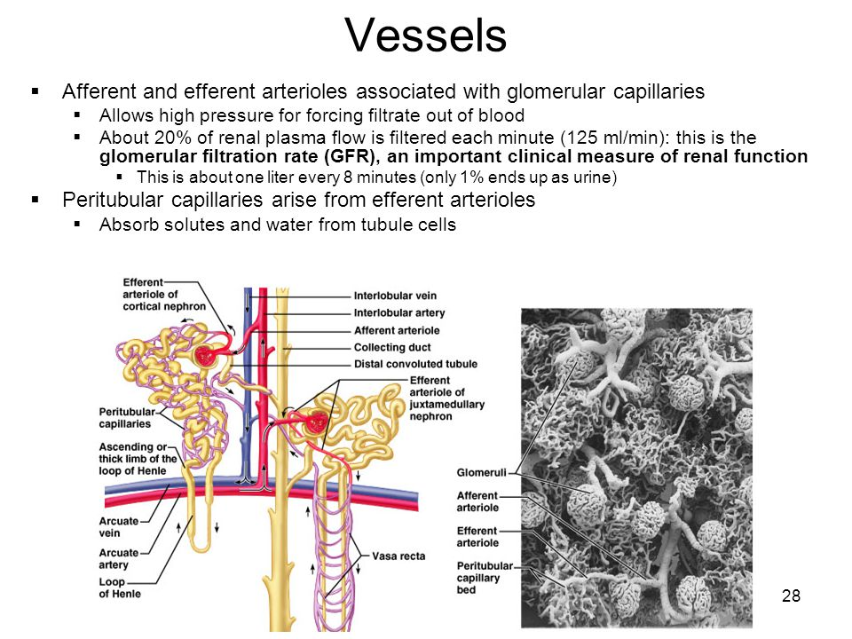 Vessels Afferent and efferent arterioles associated with glomerular capillaries. Allows high pressure for forcing filtrate out of blood.