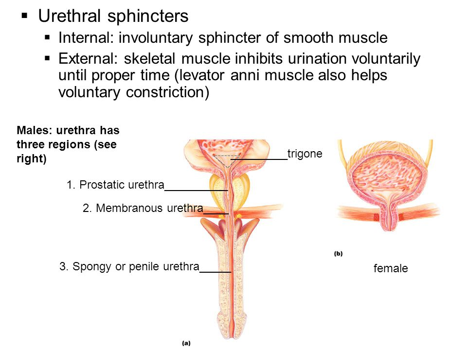 Urethral sphincters Internal: involuntary sphincter of smooth muscle