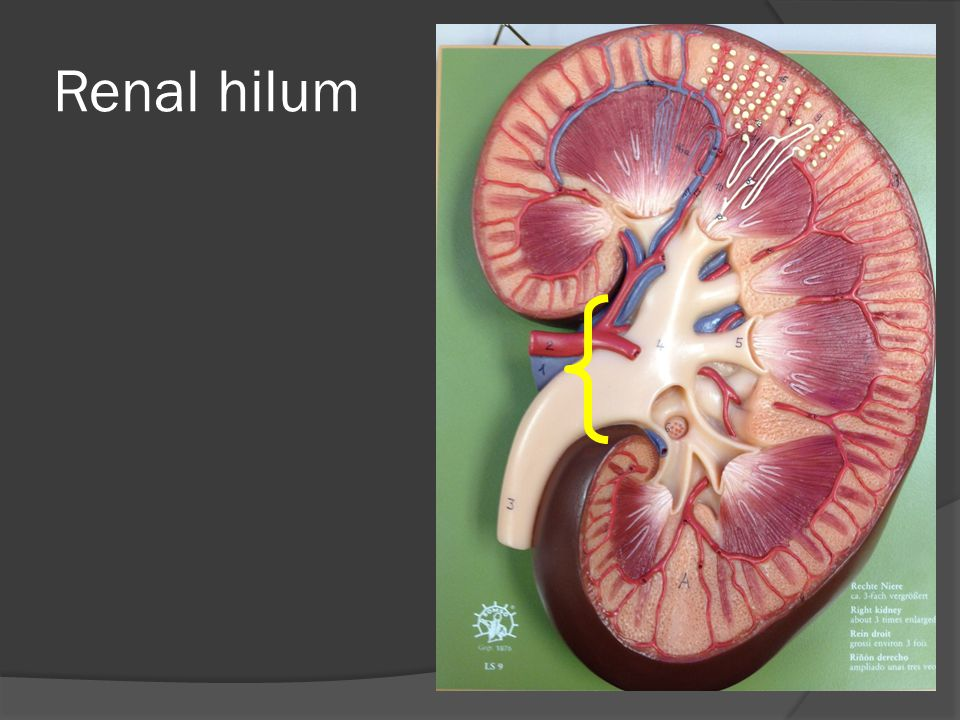 Urinary System. - ppt video online download
