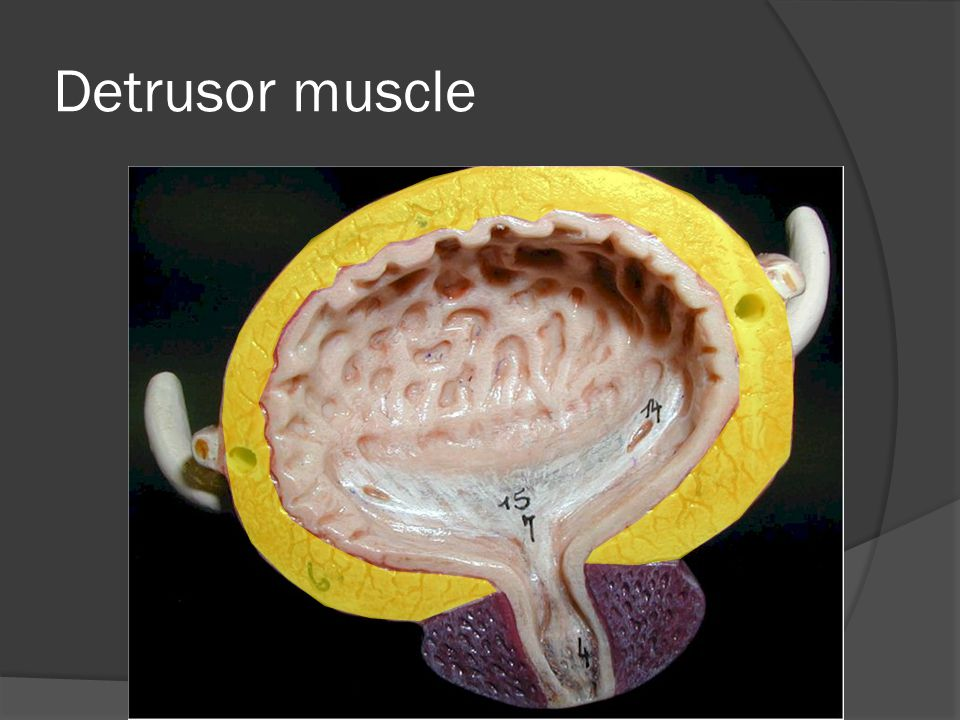 Detrusor muscle