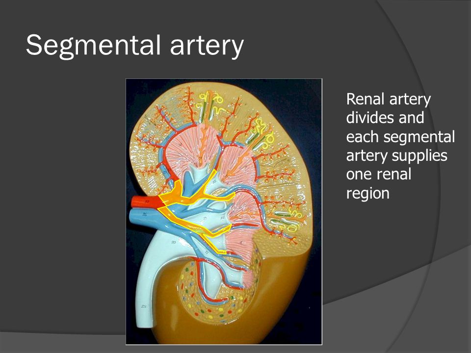 Segmental artery Renal artery divides and each segmental artery supplies one renal region