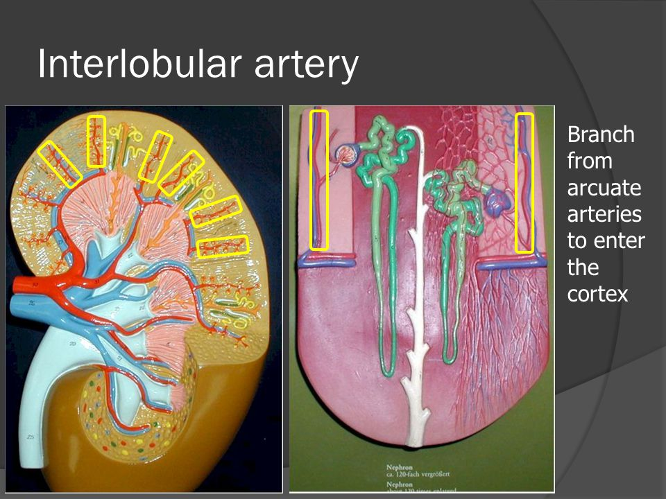 Interlobular artery Branch from arcuate arteries to enter the cortex