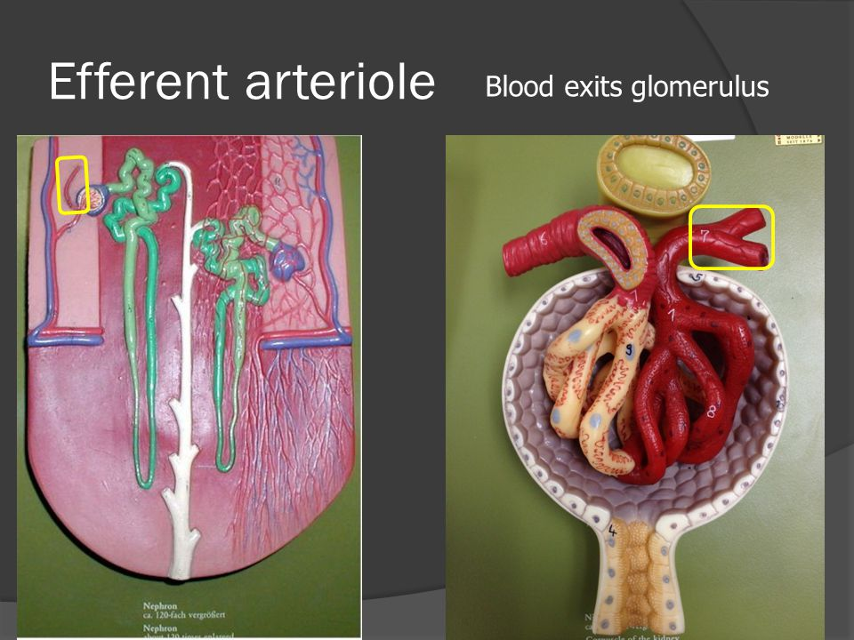 Efferent arteriole Blood exits glomerulus
