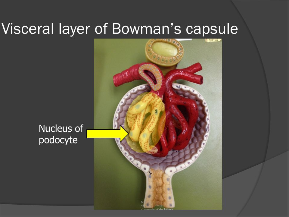 Visceral layer of Bowman's capsule