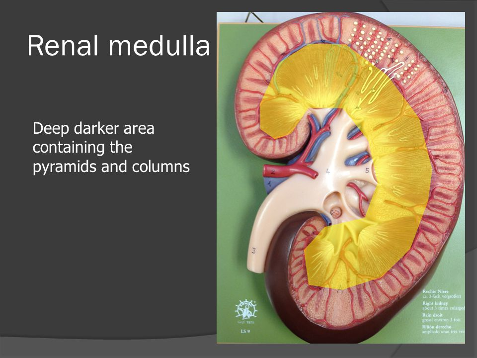 Renal medulla Deep darker area containing the pyramids and columns