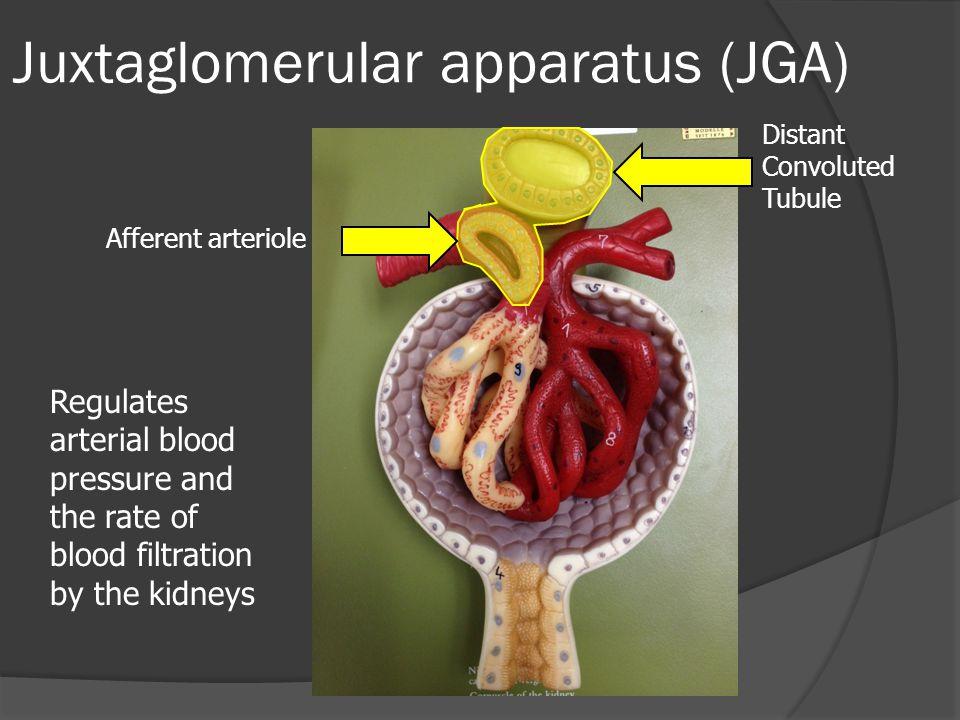 Juxtaglomerular apparatus (JGA)