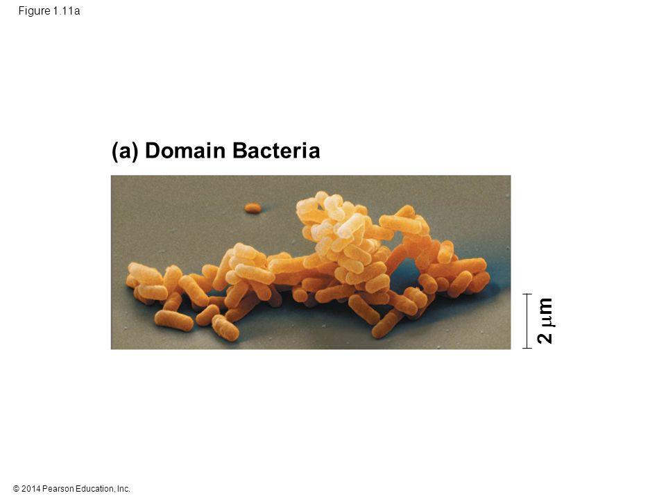 (a) Domain Bacteria 2 m Figure 1.11a