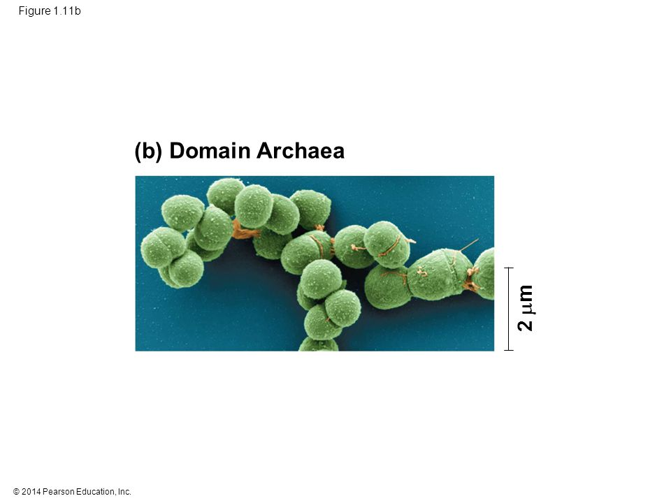 (b) Domain Archaea 2 m Figure 1.11b