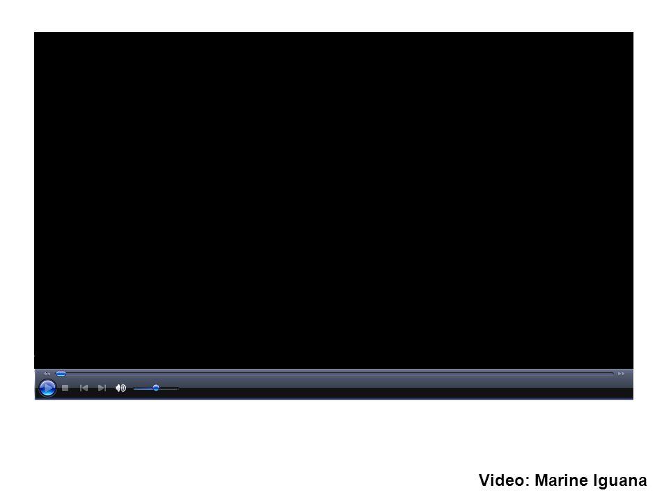 Video: Marine Iguana