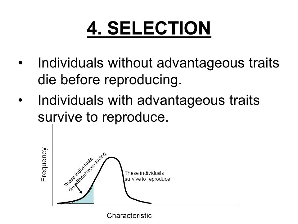 4. SELECTION Individuals without advantageous traits die before reproducing. Individuals with advantageous traits survive to reproduce.