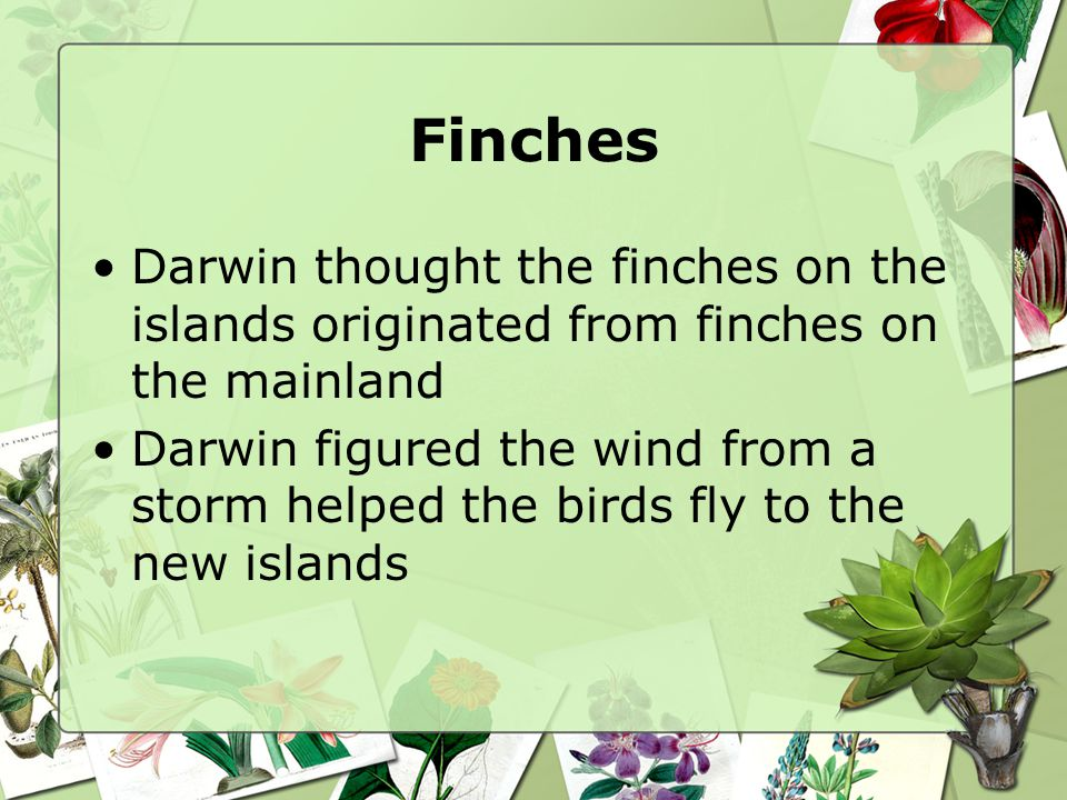 Finches Darwin thought the finches on the islands originated from finches on the mainland.