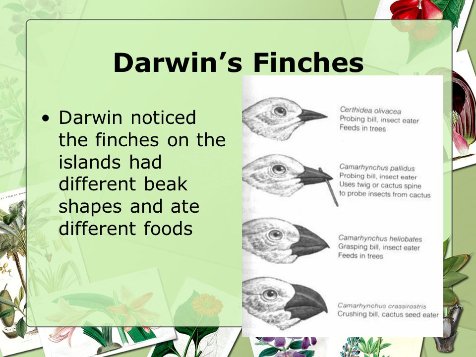 Darwin's Finches Darwin noticed the finches on the islands had different beak shapes and ate different foods.