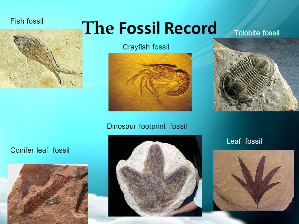 The Fossil Record Fish fossil Trilobite fossil Crayfish fossil