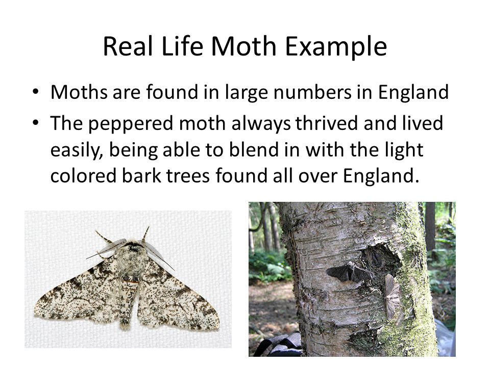 Real Life Moth Example Moths are found in large numbers in England