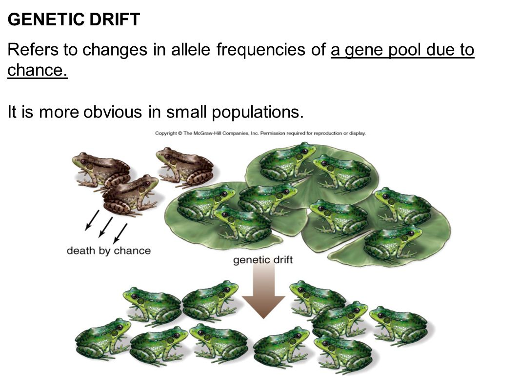 GENETIC DRIFT Refers to changes in allele frequencies of a gene pool due to chance.