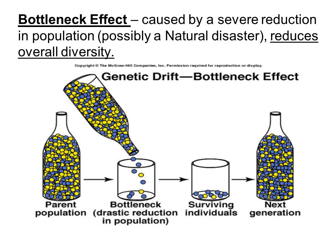 Bottleneck Effect – caused by a severe reduction in population (possibly a Natural disaster), reduces overall diversity.