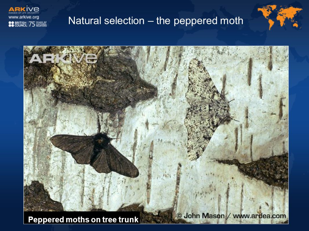 Natural selection – the peppered moth