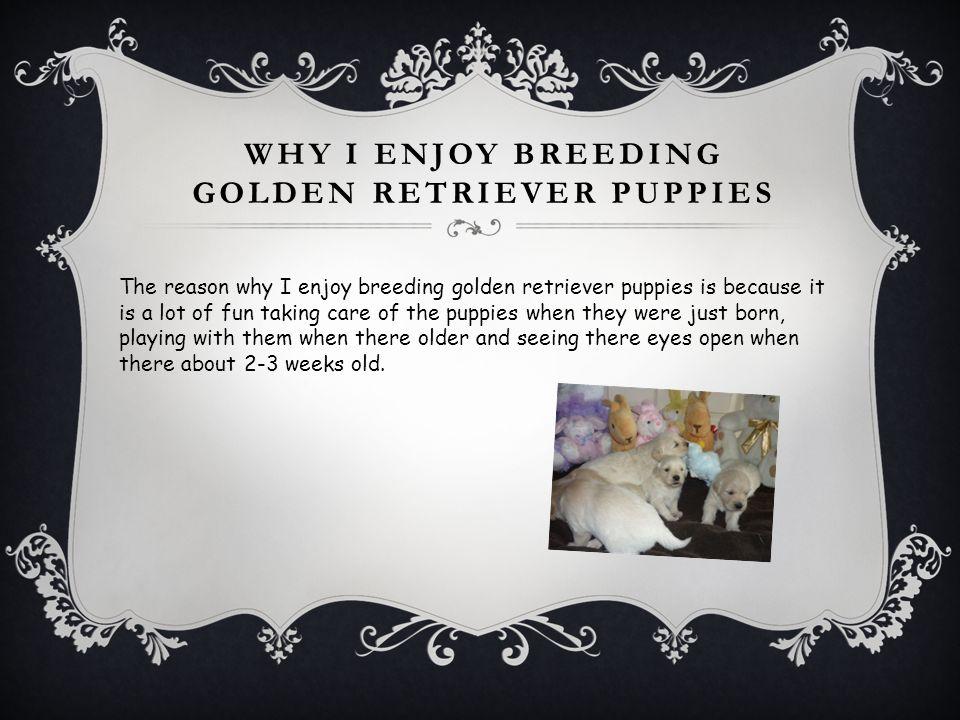 Why I enjoy breeding golden retriever puppies