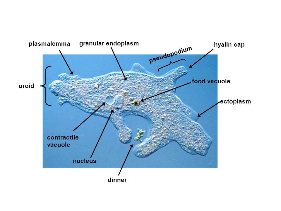 plasmalemma granular endoplasm. hyalin cap. pseudopodium. food vacuole. uroid. ectoplasm. contractile.