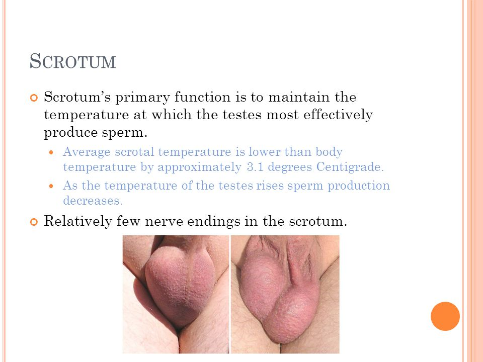 Scrotum Scrotum's primary function is to maintain the temperature at which the testes most effectively produce sperm.