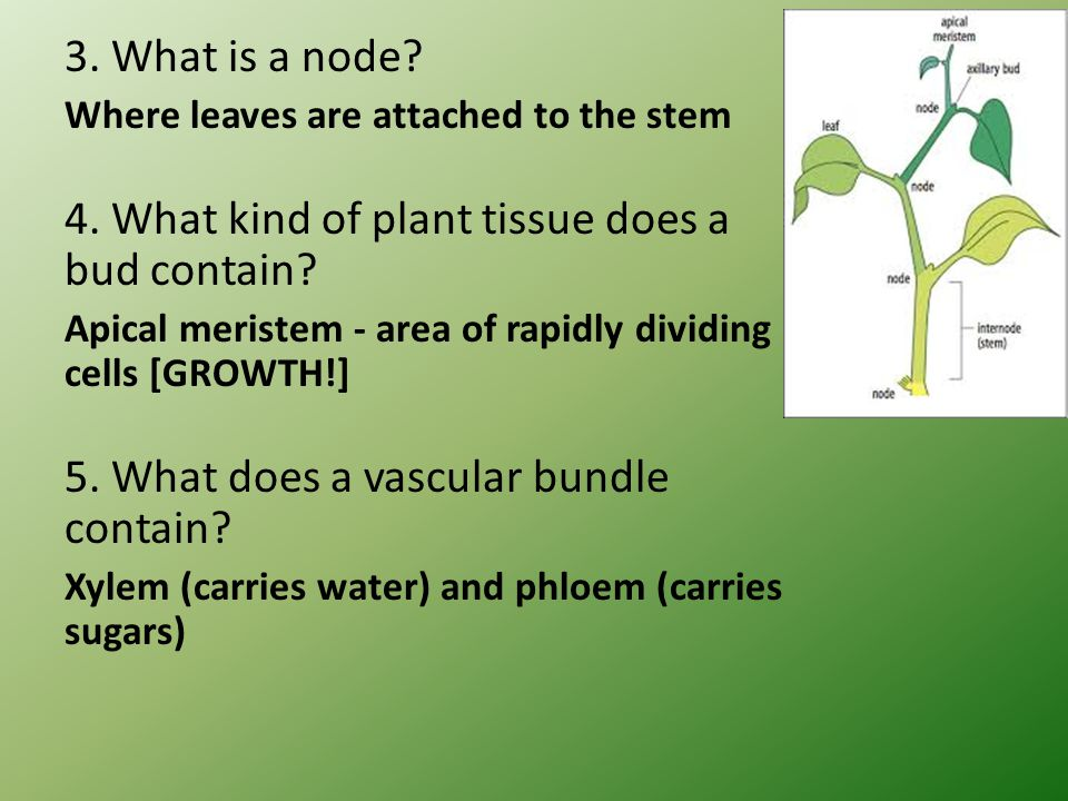 4. What kind of plant tissue does a bud contain