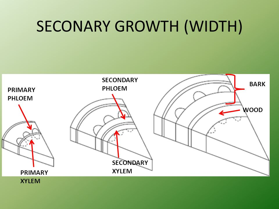 SECONARY GROWTH (WIDTH)