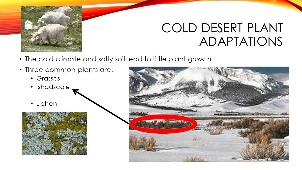 Cold desert plant adaptations