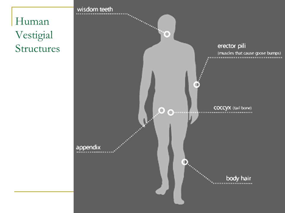 Human Vestigial Structures