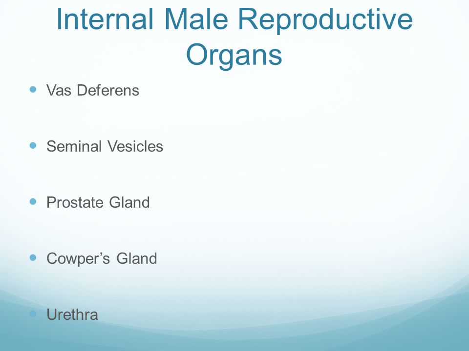 Internal Male Reproductive Organs
