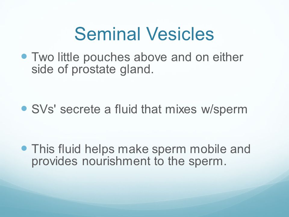 Seminal Vesicles Two little pouches above and on either side of prostate gland. SVs secrete a fluid that mixes w/sperm.