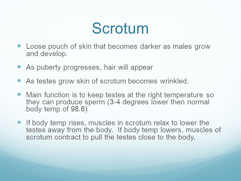 Scrotum Loose pouch of skin that becomes darker as males grow and develop. As puberty progresses, hair will appear.